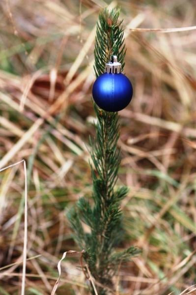 baby Colorado spruce