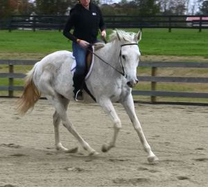 gray thoroughbred horse canter