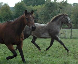 bay quarter horse and appaloosa mare