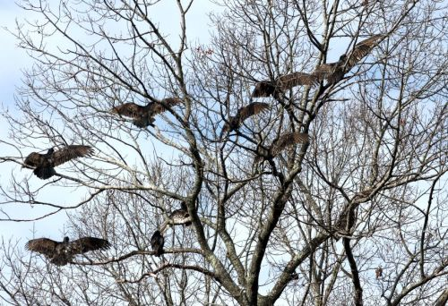 Vultures in the nearby trees