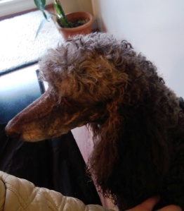 One of three poodles.
