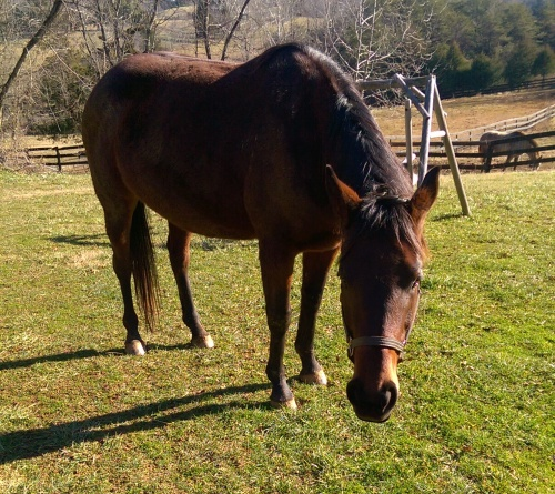 bay ottb thoroughbred mare