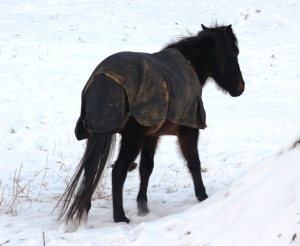 German Riding Pony