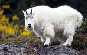 Perfect for my mountain goat breeding farm!