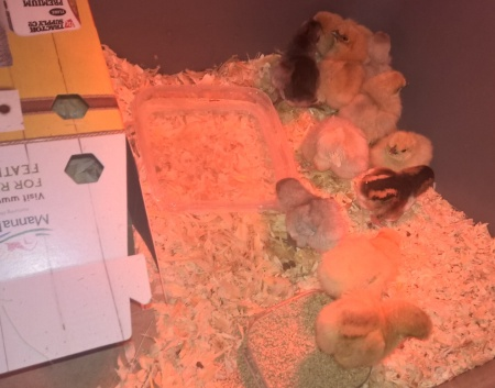 settled into the brooder