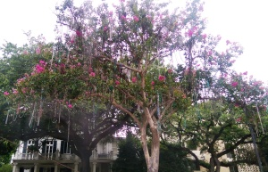 If you plant Mardi Gras beads in the ground, eventually you will get this specimen of tree.