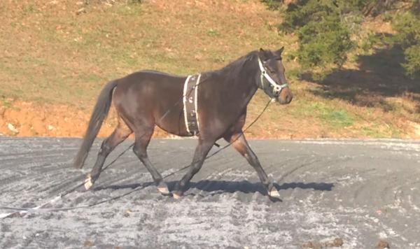german riding pony trot