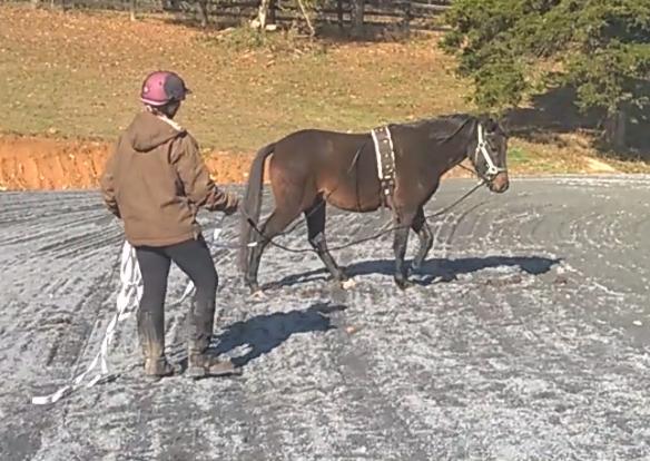 german riding pony walk