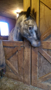 I don't have a picture of her Trojan-horsing, so her she is being pissed off and biting Berry's stall door.